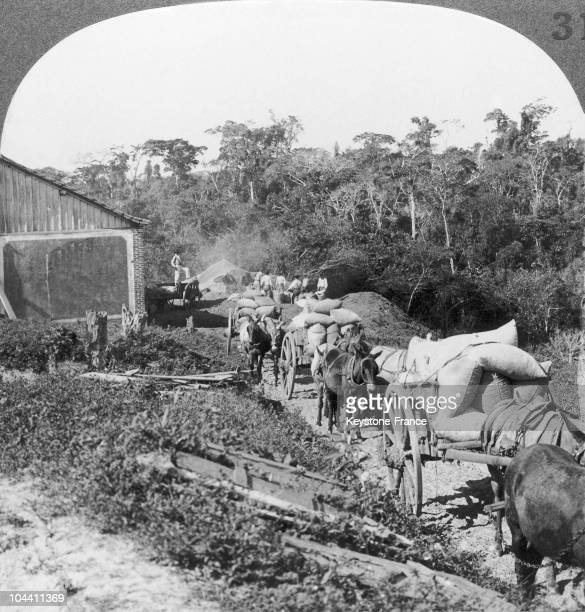 Bags of coffee being carried on cart puled by donkeys on a plantation in Sao Paolo Brazil around 19001920 The bags weighed nearly 60kg A large pile...