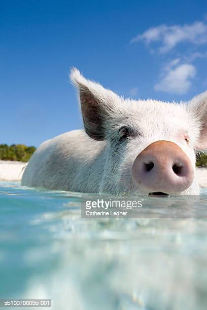 Bahamas, Pig swimming in water