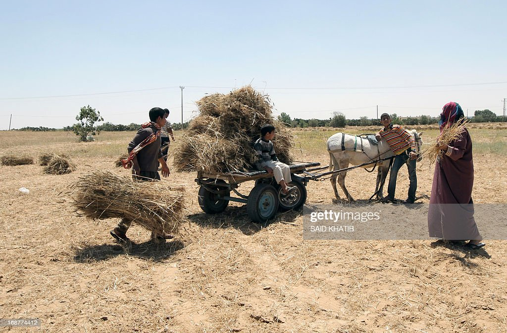 Bailes of wheat are loaded onto a donkey cart as members of a Palestinian family harvest their field during the annual harvest season outside the Khan Yunis refugee camp in the southern Gaza Strip on May 15, 2013.