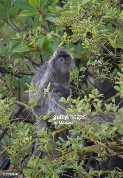 'A silvered leaf monkey sits in a tree in Bako National Park, located in Sarawak, a Malaysia state of Borneo.'