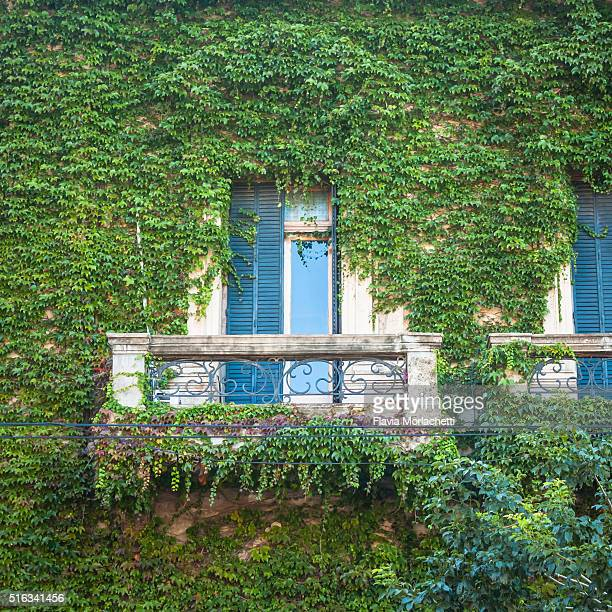 Balcony covered with green ivy vine