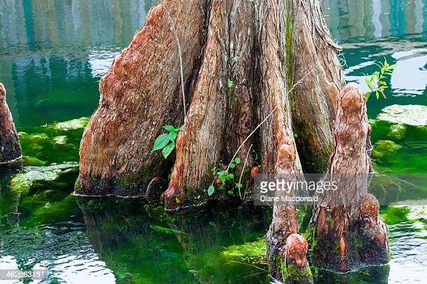 Bald cypress in water