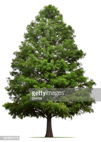 Bald Cypress Tree Pictures 101