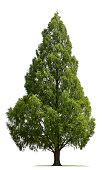 A Bald Cypress tree isolated on white.To see more isolated trees click on the link below: