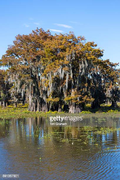 Bald cypress trees deciduous conifer Taxodium distichum covered with Spanish Moss in Atchafalaya Swamp Louisiana USA