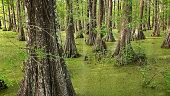 Bald Cypress Trees in southern Louisiana swamp at Cypress Island Preserve