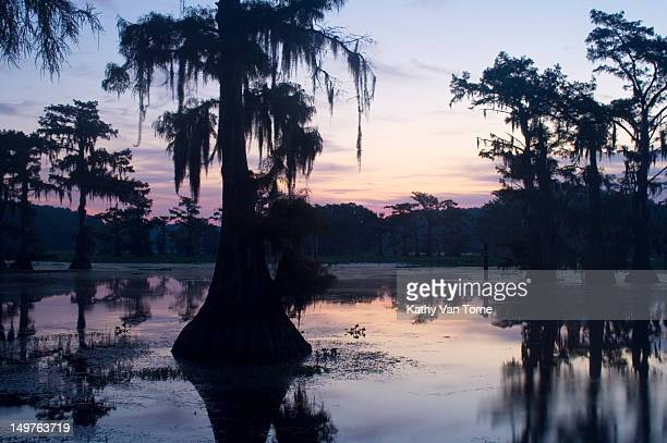 Bald cypress trees in swamp at sunrise