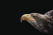 Bald Eagle about to stike, Skagway, Alaska