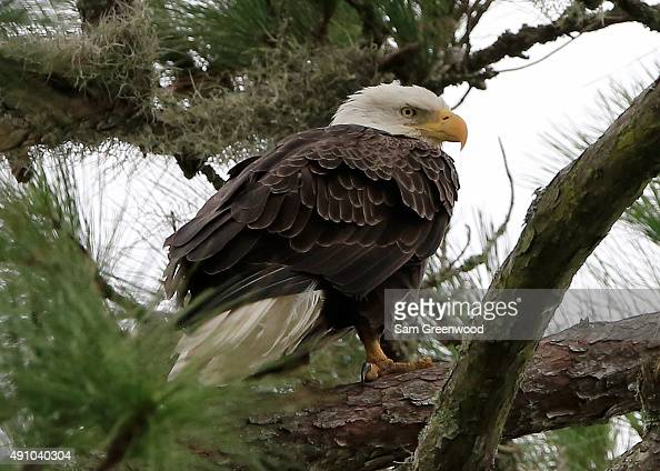 A bald eagle as seen during the second round of the Webcom Tour Championship at the TPC Sawgrass Dye's Valley Course on October 2 2015 in Ponte Vedra...