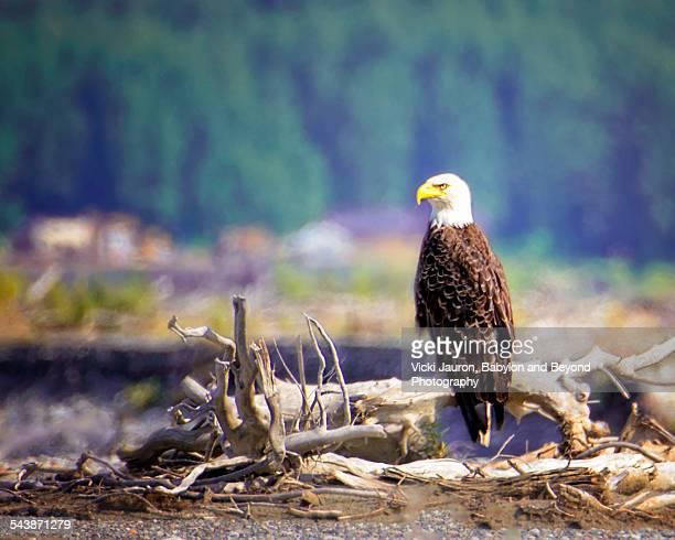 Bald Eagle at Chilkat Preserve, Haines Alaska