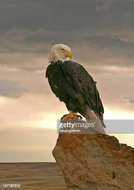 Aquila di mare testabianca all'alba