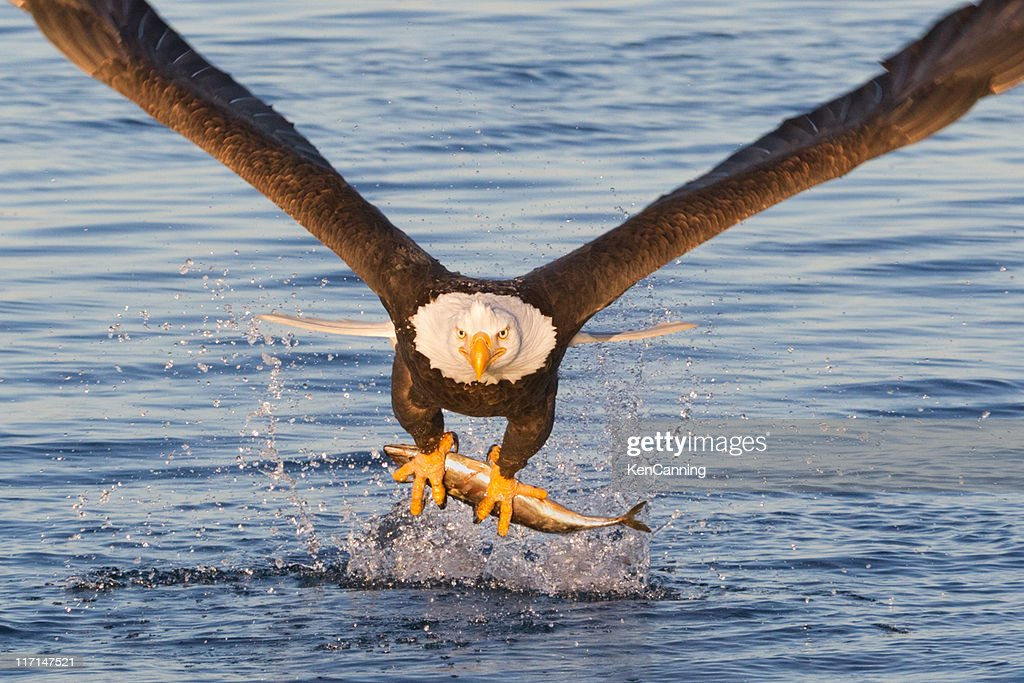 Bald Eagle Catching A Fish : Stock Photo