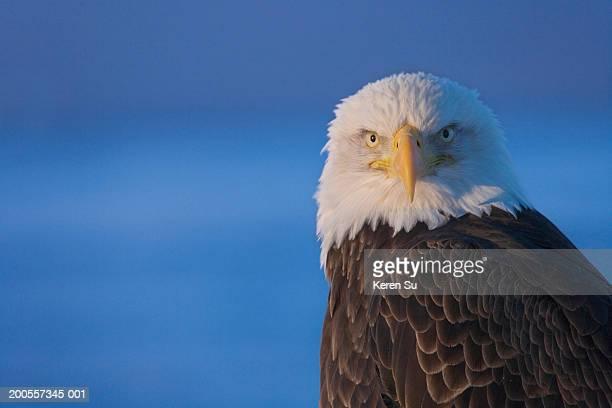 Bald Eagle (Haliaeetus leucocephalus) close-up
