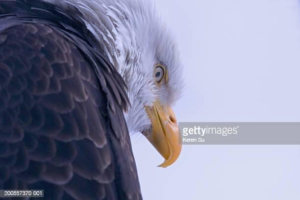 Bald Eagle (Haliaeetus leucocephalus), close-up