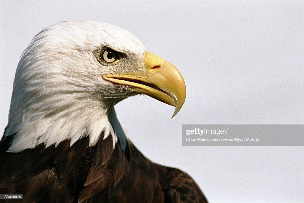 Bald eagle (Haliaeetus leucocephalus), close-up, side view : Stock Photo