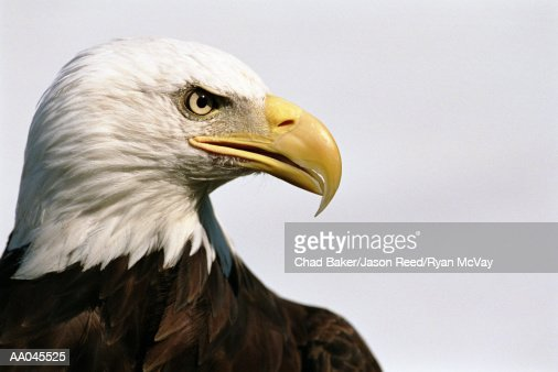 Bald eagle (Haliaeetus leucocephalus), close-up, side view