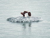 Bald Eagle Couple Standing On Floating Ice In Alaskan Waters