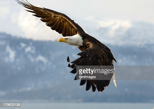 Bald Eagle - Determination Look