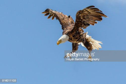 Bald Eagle dives towards its prey