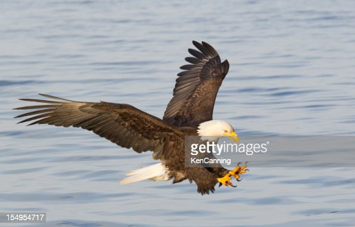 Bald eagle diving with wings outstretched