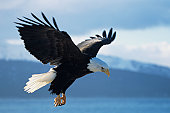 Bald eagle (Haliaeetus leucocephalus) dropping in, Alaska, USA