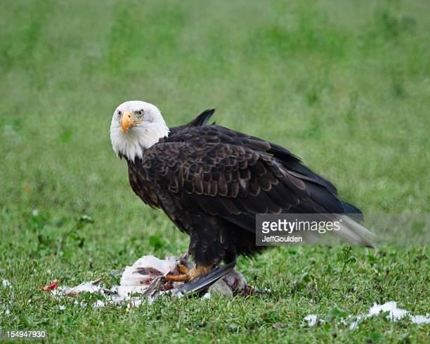 Bald Eagle Feeding on a Dead Snow Goose