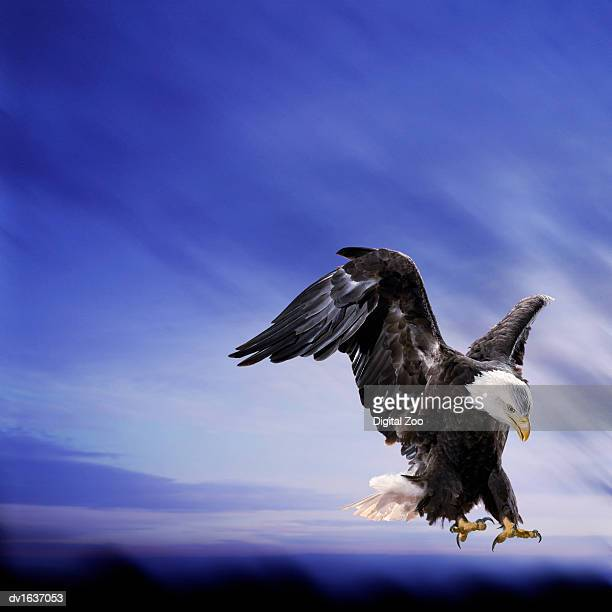Bald Eagle Flying Against a Dramatic Blue Sky
