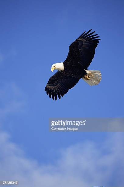 Bald eagle flying , Alaska