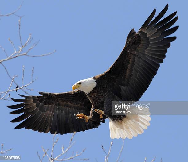 Bald Eagle Flying Free, Wings Spread; Leadership, Freedom, Strength