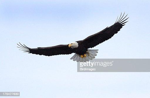 Bald Eagle flying isolated in Alaska