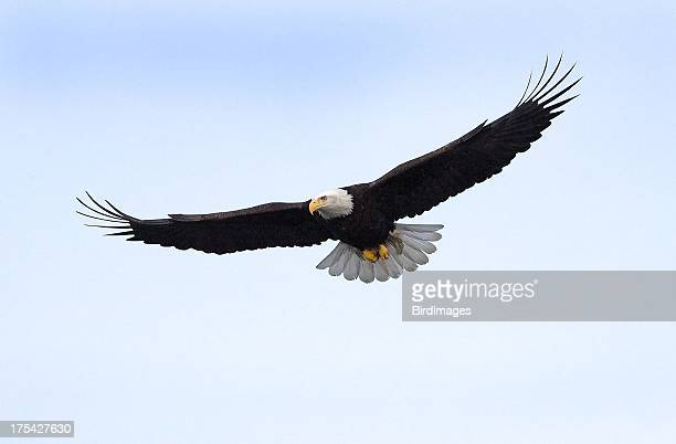 Bald Eagle flying isolated in Alaska