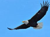 Image of Bald Eagle Flying over Kodiak Island, Alaska.