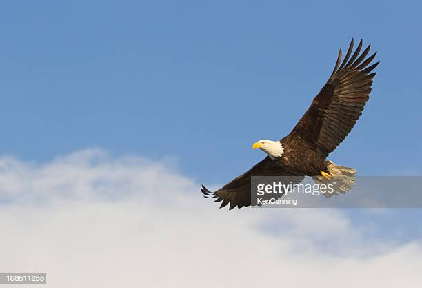 Bald eagle gliding against blue sky and white wispy clouds
