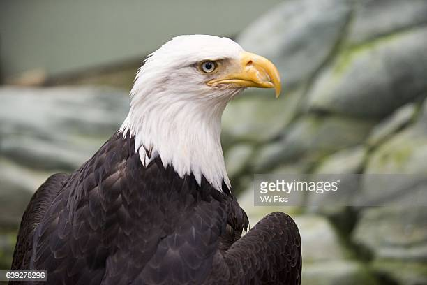 Bald Eagle Haliaeetus leucocephalus closeup Marble Island in Glacier Bay National Park Alaska USA Also known as an American Eagle with an iconic...