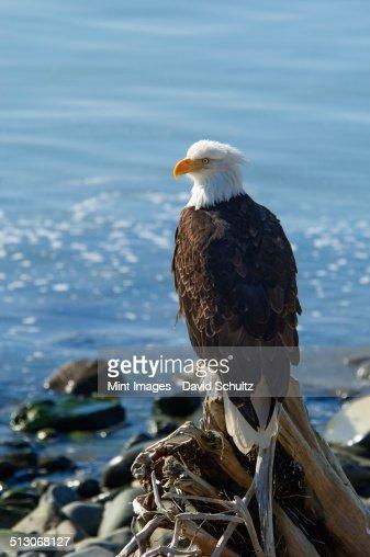 A bald eagle, Haliaeetus leucocephalus, perched on a rock.