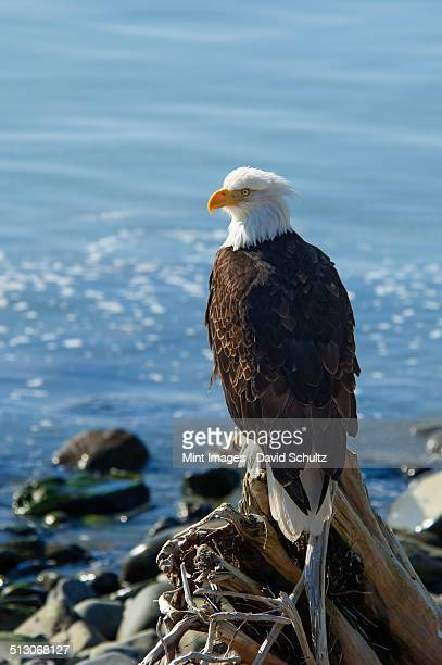 A bald eagle, Haliaeetus leucocephalus, perched on a rock.