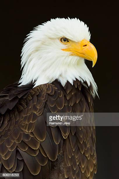Bald Eagle, Haliaetus leucocephalus, Portrait