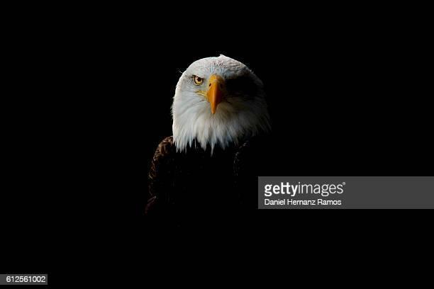 Bald eagle headshot detail with black background. Haliaeetus leucocephalus