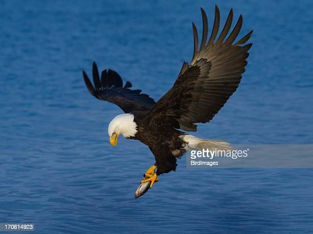 Bald Eagle Holding a Fish, Alaska