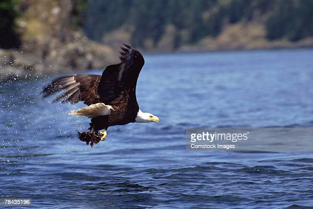 Bald eagle hunting fish over water