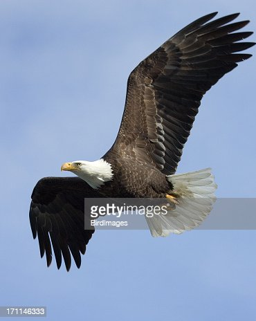Bald Eagle in Flight - Alaska