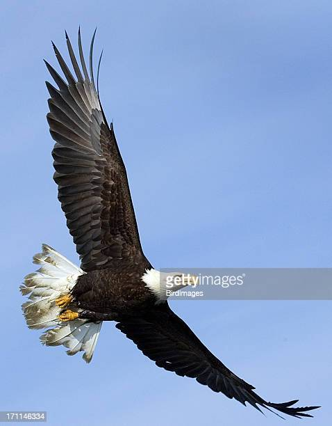 Bald Eagle in volo-Alaska