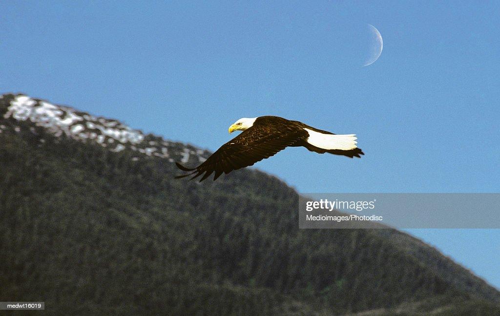 A bald eagle in flight in Sitka, Alaska, USA : Stock Photo