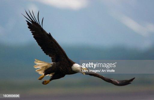 Bald eagle in flight, Katmai National Park, Alaska, USA : Stock Photo