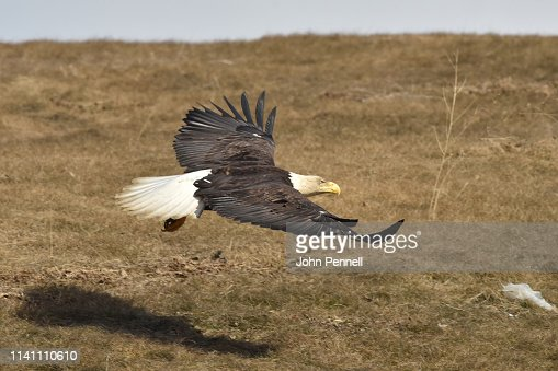 Bald eagle in flight : Stock Photo