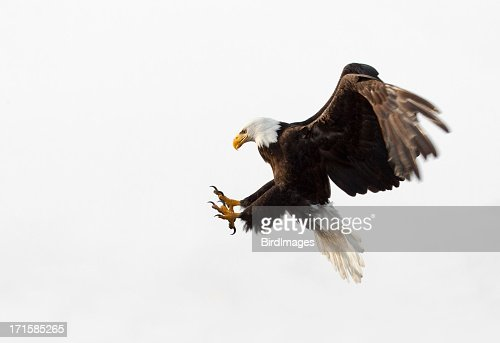 Bald Eagle In Flight - White Background, Alaska