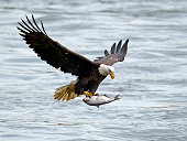 Bald Eagle in flight carrying a fish in it's talons.