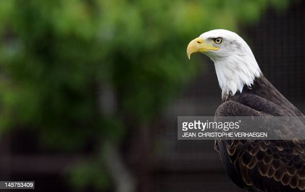 A Bald Eagle is pictured at the zoo of the French eastern city of Amneville on June 5 2012 AFP PHOTO / JEANCHRISTOPHE VERHAEGEN