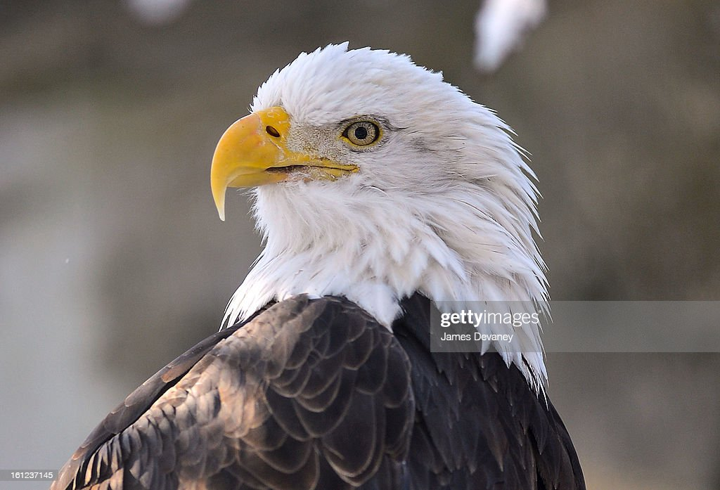 A Bald Eagle is seen at the Bronx Zoo after a snow storm on February 9, 2013 in the Bronx borough of New York City.