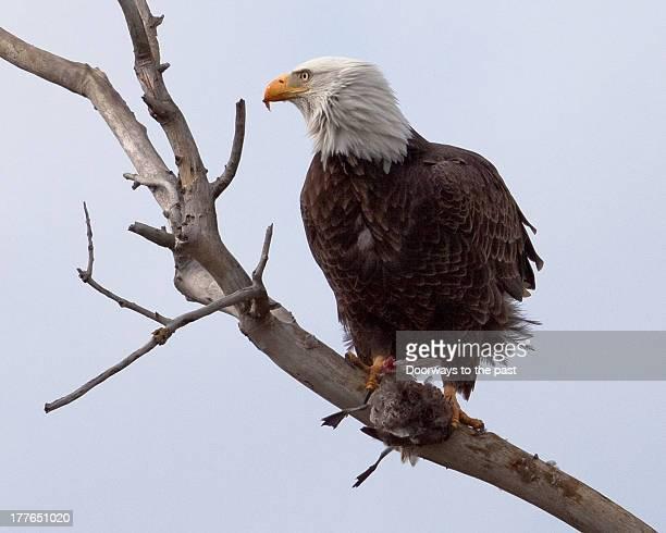 Bald Eagle kill